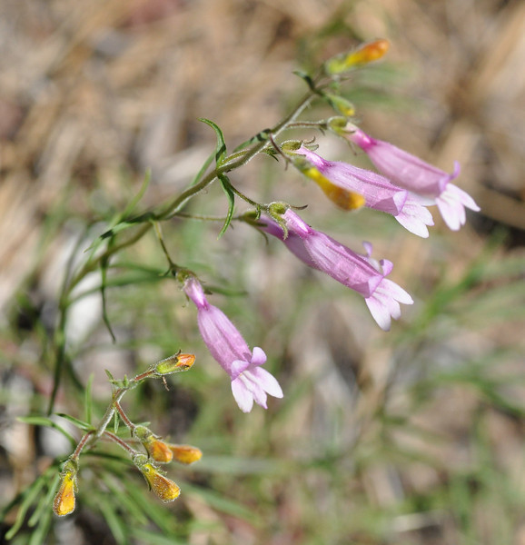 These azure penstemon are pink but have the same whitish color inside the flower.