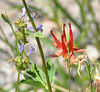 As I was photographing indian paintbrush along a side road, Lesley pointed out a columbine a few feet away.  Just seeing one columbine makes my day and we saw several there.