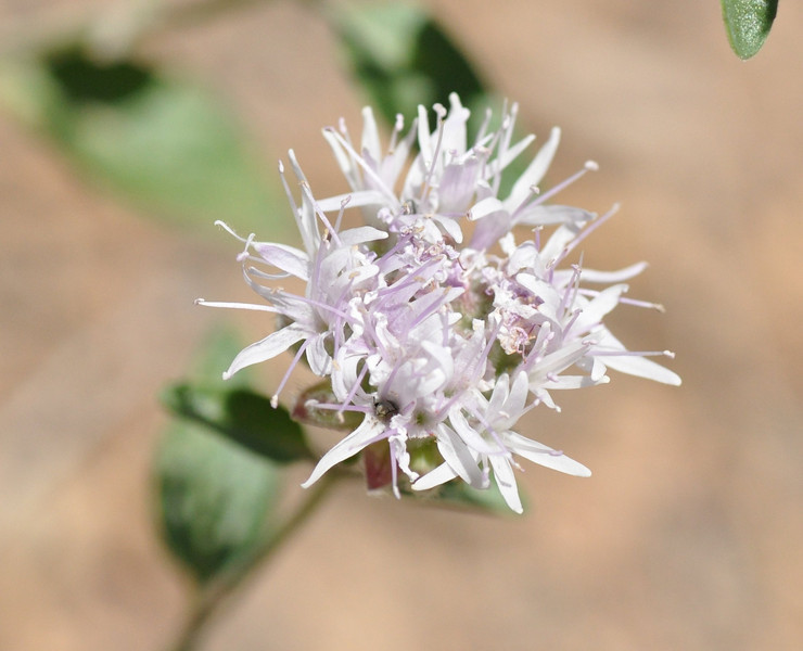 Often, I see coyote mint flowers with a monk's fringe - mature flowers around the edge of the head and a bare spot in the middle.  This one has a full head of hair.