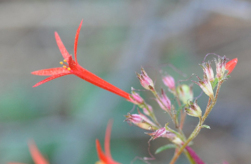 This scarlet gilia was in shade so the color of the flower and the background colors are soft.   The soft pink color of the buds contrasts well with the strong color of the mature flower.