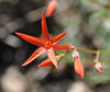 As we went along, we saw more scarlet gilia.  These were in sunlight with shade behind, producing stronger contrast.