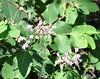 manzanita_maybe green manzanita__Arctostaphylos patula_DSC_0565