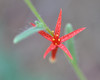 The yellow stamens accent the red color of the petals on this scarlet gilia blossom.