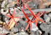 Three blossoms in bright sunlight repeat thegilia's shape.