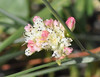 This buckwheat species produced a beautiful mix of white and pink color.