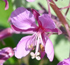 This fireweed has striking color, good contrasts and interesting flower parts. Great subject matter.