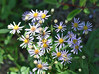 Western asters ... and a bee.
