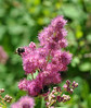 Spirea_douglasii with two bees.   The macro lens I was using was not a good tool for this job.