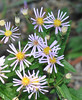 A detail of western asters.