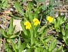 primrose monkeyflower_DSC_0528