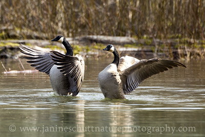 Canada Geese on Coldwater Lake.