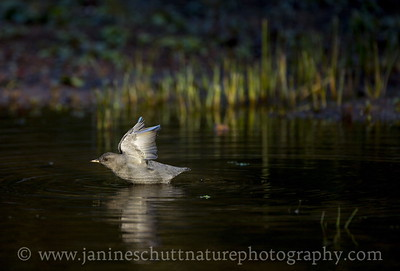 American Dipper spreading its wings while standing in a shallow part of Coldwater Lake.