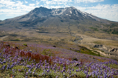 View of Mt. St. Helens with fields of lupine in the foreground.  Photo taken along the Boundary Trail near Johnston Ridge in July 2016.