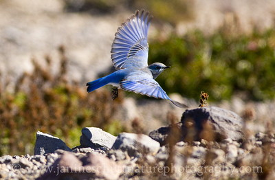 Male Mountain Bluebird at Windy Ridge.