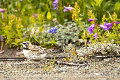 Juvenile Horned Lark amongst the wildflowers at the Loowit Viewpoint.