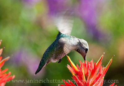 Female Anna's Hummingbird sipping nectar from Indian paintbrush by the Johnston Ridge Observatory.