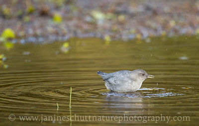 American Dipper foraging in a shallow part of Coldwater Lake.