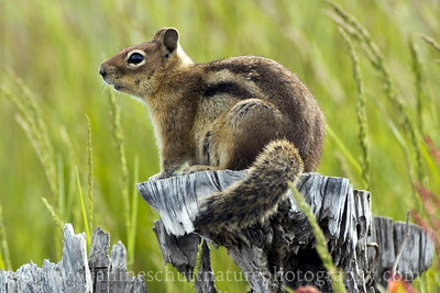 Cascade Golden-mantled Ground Squirrel surveying its territory at the Loowit Viewpoint near Johnston Ridge.