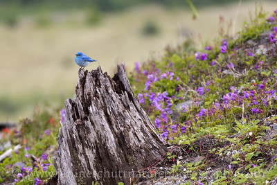Male Mountain Bluebird along the Boundary Trail near the Loowit Viewpoint.