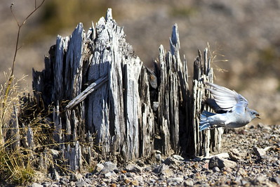 Male Mountain Bluebird catches an insect by an eruption blasted stump.  Photo taken at Windy Ridge.