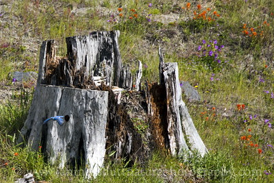 Male Mountain Bluebird exiting his nest hole in an old stump near the Loowit Viewpoint along SR 504.