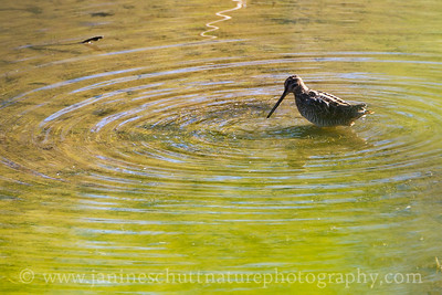 Wilson's Snipe foraging in the pond at the Coldwater Lake Recreation Area.