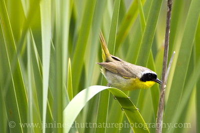 Male Common Yellowthroat along the Hummocks Trail.