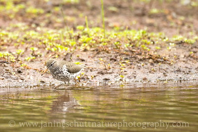 Spotted Sandpiper foraging along the shore of Coldwater Lake.