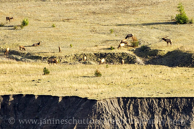 Roosevelt Elk feeding on the plain below the Loowit Viewpoint.