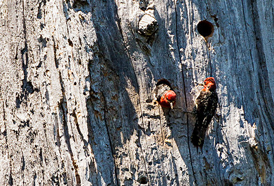 Pair of Red-breasted Sapsuckers at their nest hole on a large snag by Meta Lake.  This tree was killed by the 1980 eruption.