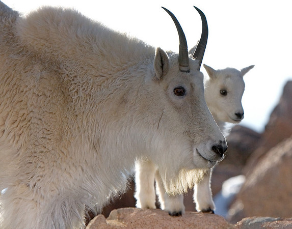 This female (Nanny) Mountain Goat with new born (kid) photograph was captured near the Mt. Evans, Colorado summit area (6/07).   This photograph is protected by the U.S. Copyright Laws and shall not to be downloaded or reproduced by any means without the formal written permission of Ken Conger Photography.