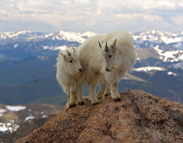 This photograph of yearling Mountain Goats was captured near the Mt. Evans, Colorado summit area (6/07).   This photograph is protected by the U.S. Copyright Laws and shall not to be downloaded or reproduced by any means without the formal written permission of Ken Conger Photography.