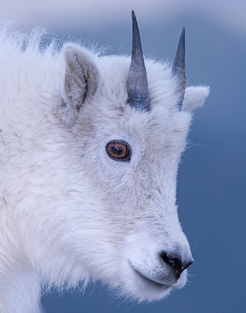 This yearling Mountain Goat photograph was captured near the Mt. Evans, Colorado summit area (6/07).   This photograph is protected by the U.S. Copyright Laws and shall not to be downloaded or reproduced by any means without the formal written permission of Ken Conger Photography.