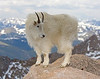 Mountain Goat Gallery : A collection of Mountain Goat images.