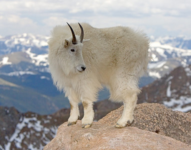This Mountain Goat photograph was captured near the Mt. Evans, Colorado summit area (6/07).   This photograph is protected by the U.S. Copyright Laws and shall not to be downloaded or reproduced by any means without the formal written permission of Ken Conger Photography.