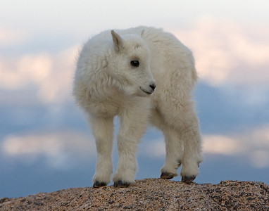 This kid (new born) Mountain Goat photograph was captured near the Mt. Evans, Colorado summit area (6/07).   This photograph is protected by the U.S. Copyright Laws and shall not to be downloaded or reproduced by any means without the formal written permission of Ken Conger Photography.