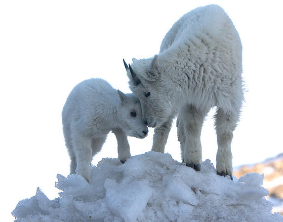This photograph of a yearling and a kid (new born) Mountain Goat was captured near the Mt. Evans, Colorado summit area (6/07).   This photograph is protected by the U.S. Copyright Laws and shall not to be downloaded or reproduced by any means without the formal written permission of Ken Conger Photography.