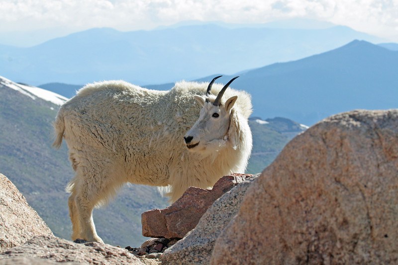 Mountain Goat.<br /> Mt Evans,Colorado...series
