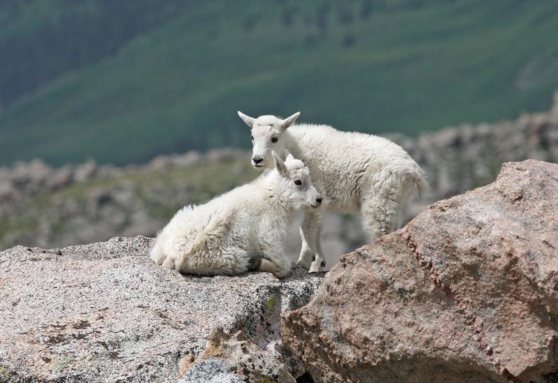 Mountain Goat Kids.<br /> Mt Evans,Colorado