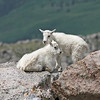 Mountain Goat Kids.<br /> Mt Evans,Colorado