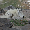 Mountain Goat<br /> Mt Evans,Colorado