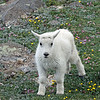 Mountain Goat kid<br /> <br /> Mt Evans,Colorado