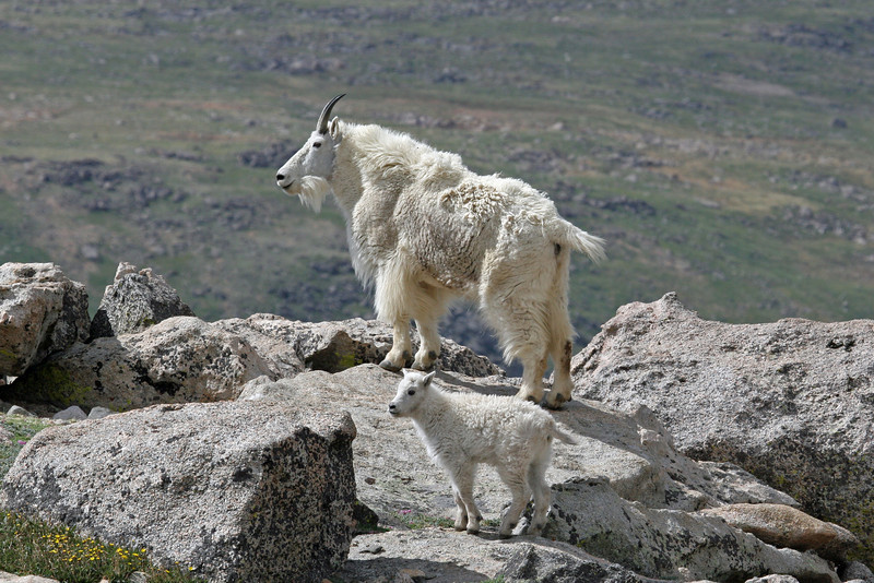 Adult Mountain Goat,with young one.<br /> Mt,Evans,Colorado