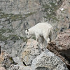 Mountain Goat Kid <br /> Mt Evans,Colorado
