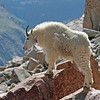 Mountain Goat<br /> 14,000 feet<br /> Mt Evans,Colorado