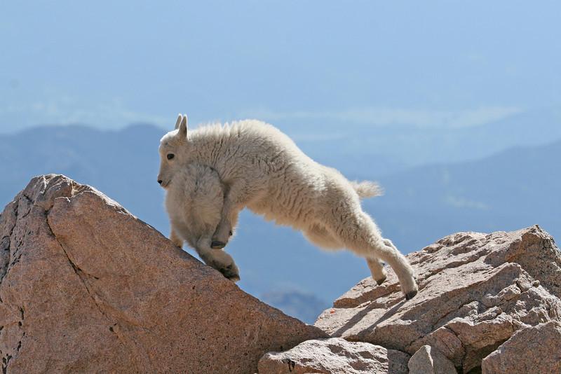 Mountain Goat Kids..Mt Evans,Colorado