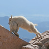 Mountain Goat Kids..Mt Evans,Colorado