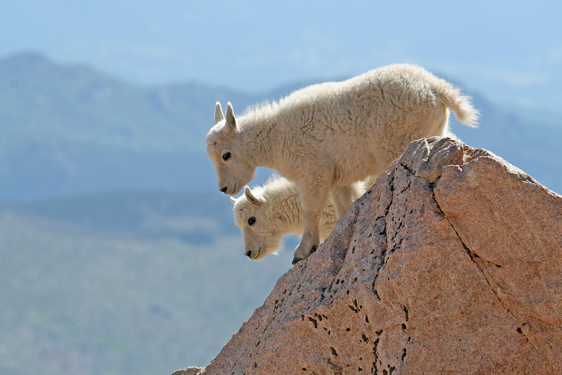 Mountain Goat Kids<br /> 14,000 ft.<br /> Mt Evans,Colorado..series