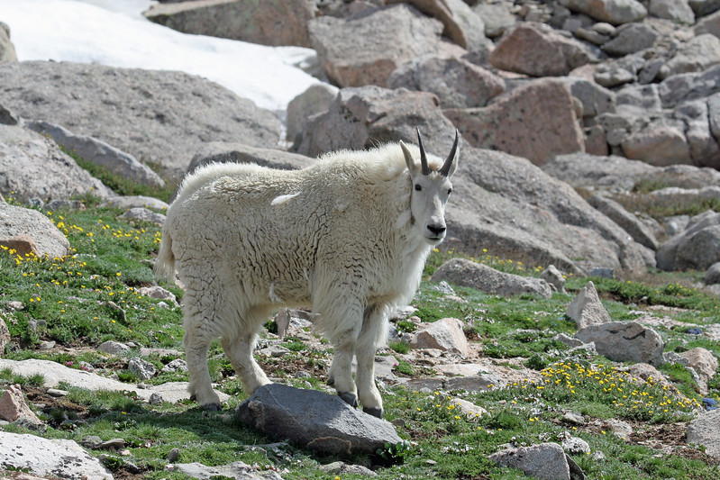 Mountain Goat<br /> Mt.Evans,Colorado