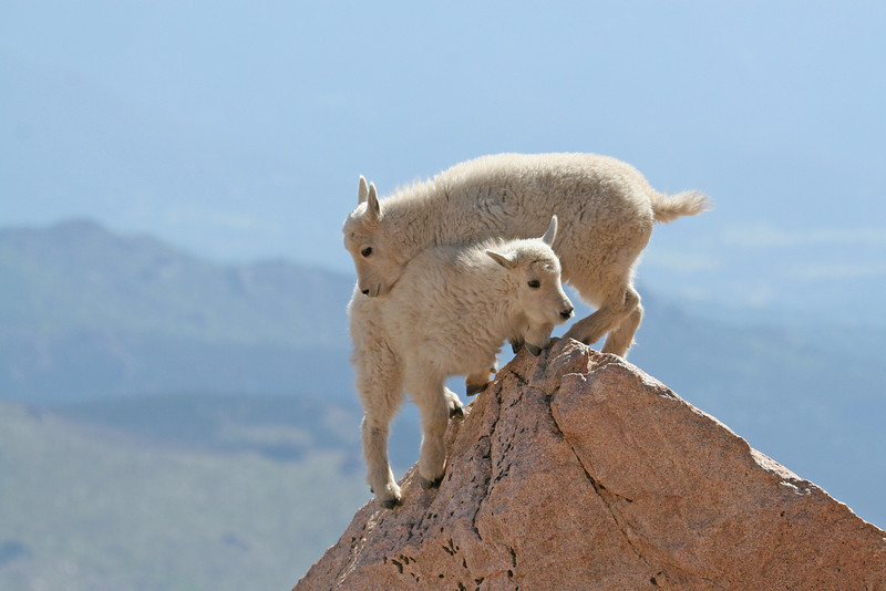 Mountain Goat Kids<br /> 14,000 ft<br /> Mt.Evans,Colorado